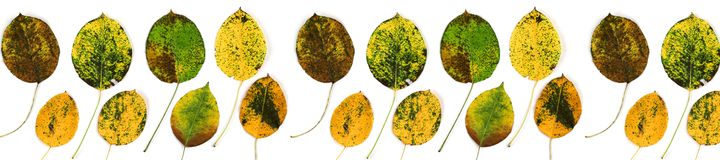 Autumn leaves of a pear. On white background royalty free stock image