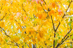 Autumn leaves pear tree in the garden Royalty Free Stock Images