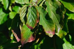 Autumn leaves of Persian Ironwood, latin name Parrotia Persica, with red borders and tips. Daylight sunshine stock images