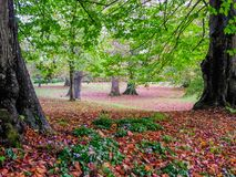 Autumn leaves in Petworth Park, West Sussex. Autumn leaves, wild violets and trees in Petworth Park, West Sussex royalty free stock photo