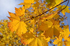 Autumn leaves. This photo shows autumn leaves in the sunlight Royalty Free Stock Images