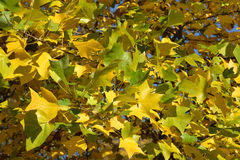 Autumn leaves of a plane tree east (Platanus orientalis L.), bac Royalty Free Stock Photos