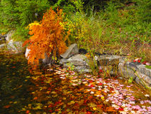 Autumn leaves in a pond. Bright red and gold autumn leaves in a pond Stock Image