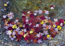 Autumn leaves. In a pond Royalty Free Stock Photos