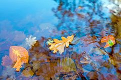 Autumn leaves in a pond. In fall in the Netherlands Royalty Free Stock Image