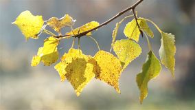 Autumn leaves of poplar. The autumn leaves of the poplar are brightly lit by the morning sun stock video
