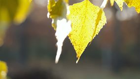 Autumn leaves of poplar. The autumn leaves of the poplar are brightly lit by the morning sun stock video footage
