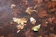 Autumn leaves in the puddle. maple leaves in water. Autumn leaves in the puddle. maple leaves Royalty Free Stock Photography