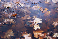 Autumn leaves in the puddle. maple leaves in water. autumn background. Autumn leaves in the puddle. maple leaves in water Royalty Free Stock Photos