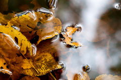 Autumn leaves in a puddle Stock Photos