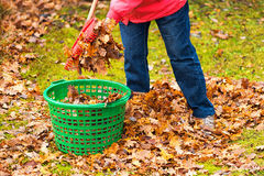 Autumn leaves put in a green basket Stock Image