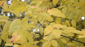 Autumn Leaves que balancea en un árbol en parque otoñal almacen de metraje de vídeo