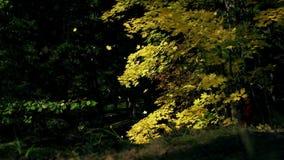 Autumn Leaves que balancea en un árbol en parque otoñal Caída Parque colorido del otoño Llamarada de Sun Cámara lenta almacen de metraje de vídeo