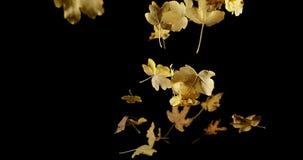Autumn Leaves que cae contra fondo negro, almacen de metraje de vídeo