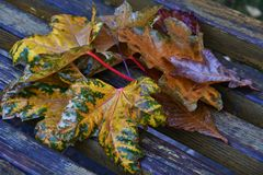 Autumn leaves after the rain. In the City Park royalty free stock photo