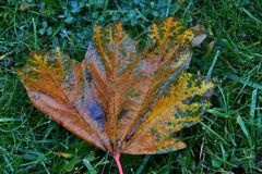 Autumn leaves after the rain. In the City Park stock photo