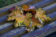 Autumn leaves after the rain. In the City Park stock image