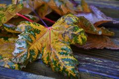 Autumn leaves after the rain. In the City Park stock photos