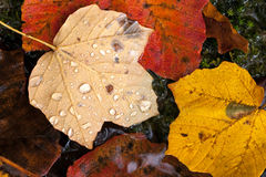 Autumn leaves with raindrops. Colorful autumn leaves with raindrops Royalty Free Stock Image
