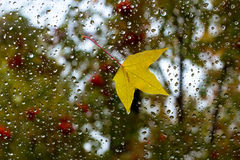 Autumn leaves. Raindrops on glass. Autumn leaves on the window of the car. Raindrops on glass Stock Image