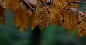 Autumn leaves , rainy, picture ,rain, falling, leaves ,beautiful ,autumn ,cute, yellow ,dry ,brown, tree ,long ,amazing. Autumn leaves , rainy, picture ,rain stock video