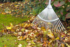 Autumn leaves with rake on green garden lawn Royalty Free Stock Image