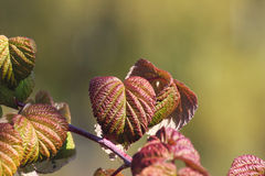 Autumn leaves of a raspberry. Branch of a raspberry with autumn leaves removed close up Stock Photos