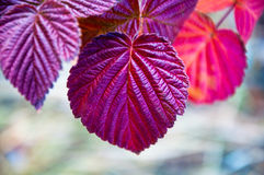 Autumn leaves of raspberry Royalty Free Stock Images