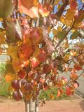 Autumn Leaves Ready to Fall Stock Photos