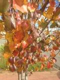 Autumn Leaves Ready zu fallen stockfotos