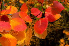 Autumn leaves. Red autumn leaves of aspen close up Royalty Free Stock Photography