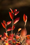 Autumn leaves of red bush.  Stock Image