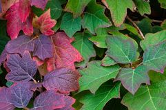 Autumn Leaves. Red and Green autumn leaves Royalty Free Stock Photos