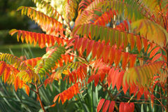 Autumn leaves. In red green yellow Royalty Free Stock Images