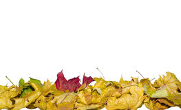 Autumn leaves red, green, yellow, brown and dry leaves on a whit. E background Stock Image