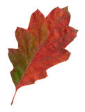 Autumn leaves of a red oak, top surface Royalty Free Stock Image