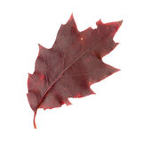 Autumn leaves of a red oak, top surface Stock Photos