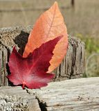 Autumn Leaves red and orange on fence post stock photography