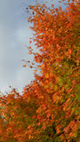 Autumn leaves. Red and orange autumn leaves on tree against blue sky Stock Photography