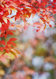 Autumn leaves. Red autumn leaves in the sun Stock Photo
