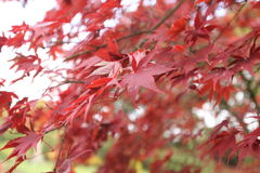Autumn Leaves Stour Head UK. Autumn Red Leaves United Kingdom Royalty Free Stock Images