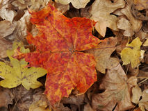 Autumn leaves. Red and yellow colored maple leaves Royalty Free Stock Photography