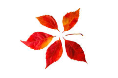 Autumn leaves on red and yellow. Isolated on white Stock Image