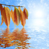 Autumn leaves, reflection in water. Branch with autumn leaves, reflection in water Royalty Free Stock Photos