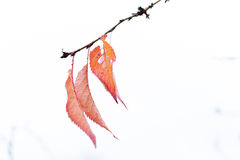 Autumn leaves remaining on cherry brunch 1 Royalty Free Stock Photos