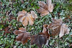 Autumn leaves with rime Royalty Free Stock Photos