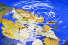 Autumn leaves in  ripple water Royalty Free Stock Photography