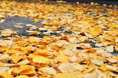 Autumn leaves on the road. Yellow leaves on the ground stock images