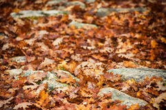 Autumn leaves and rocks. Dry fallen autumn leaves scattered among rocks on ground Royalty Free Stock Images