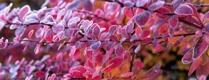 Autumn Leaves rosa e rosso su un ramo con il gelo del ghiaccio Immagine Stock